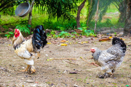 Colourful roster in nature farm with hen, Agricultural industrial