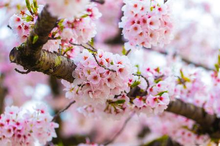 Sakura cherry blossom background dept of field selectived focus