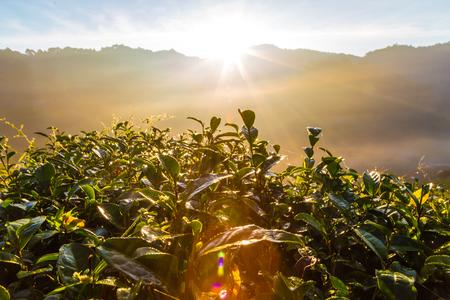 Zonsopgangochtend op het gebied van de theeaanplanting op berg, Landbouwscène