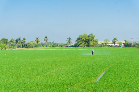 Farmer work in rice plantation for spray fertilizer in green rice field Stock Photo