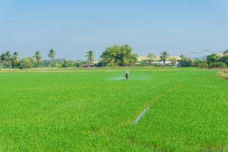 Farmer work in rice plantation for spray fertilizer in green rice field Stock Photo