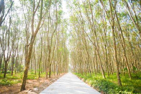 Landschaft des Gummibaums mit Straße im Dschungel landwirtschaftlich