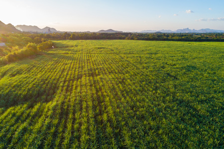 Sugarcane plantation field aerial view with sunset light, Agricultural industrial