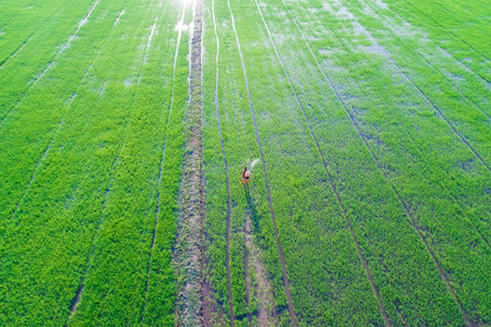 Farmer working fertilize spread in rice plantation, Agricultural industrial Stock Photo