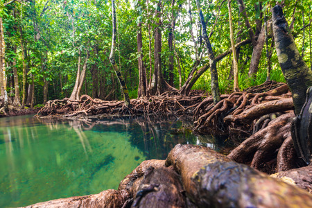 Ecosystem mangrove tropical forest green scene background
