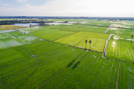 Landscape aerial view of rice plantation field green paddy background