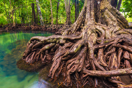 Tropical mangrove green forest clear water, Krabi, Thailand