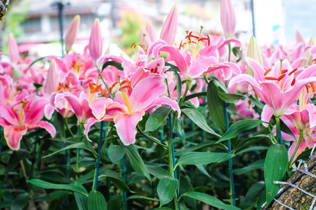 Beautiful pink lilly flower in botany garden with green leaf Stock Photo
