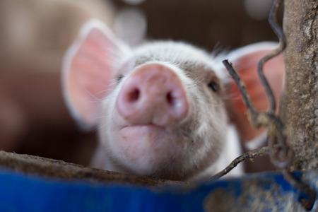 Piglets in rural traditional soil floor farm, Livestock