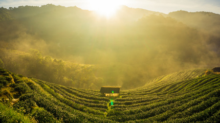 Tea plantation field sunrise with fog in morning, Agricultural industry