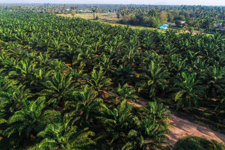 Agricultural industry oil palm tree platation aerial view