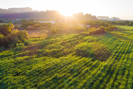 Aerial view of sugarcane plantation field with sunset light, Agriculural industry 版權商用圖片