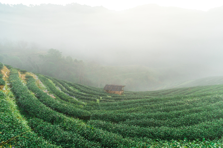 Tea plantation field on mountain hill in morning with fog, Agricultural industry Imagens