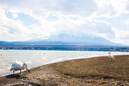 White swan in yamanashi lake background with Fuji mountain Japan travel