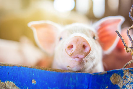 Small piglet in rural traditional farm straw breeding farm Banco de Imagens