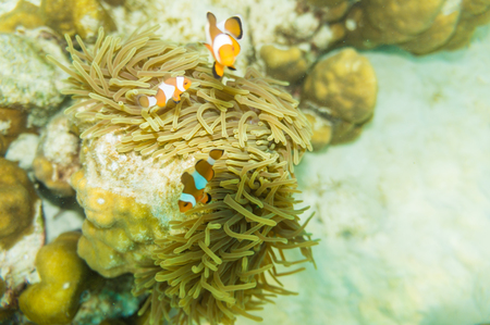 Anemone orange white fish in coral reef, Clown fish