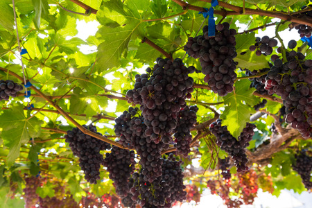 Red wine grape on tree branch, Grape harvest