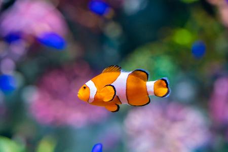 Nemo clown fish in beautiful coral reef marine aquarium