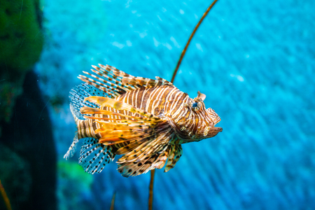 Colorful of Common Lionfish (Turkeyfish, Red Lionfish) Pterois volitans in tropical coral reef blue sea background