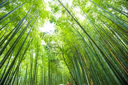 Green bamboo forest background in Arashiyama Kyoto sightseeing in Japan