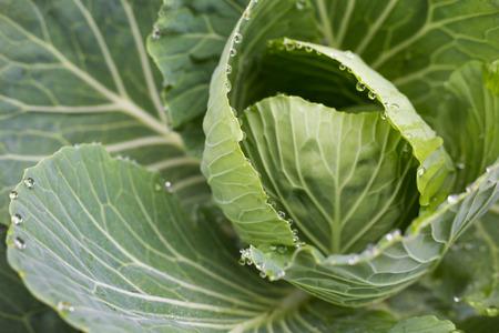 Fresh green cabbage plantation farm close up vegetable