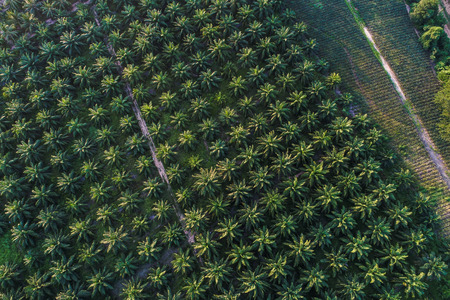 Green plantation field of oil palm aerial view, Agricultural industry Foto de archivo