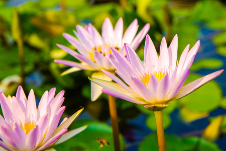 Group of colorful water lily in pond park, Lotus flower Reklamní fotografie