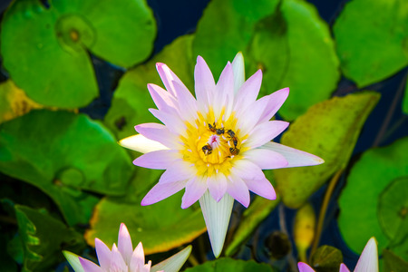 Group of colorful water lily in pond park, Lotus flower