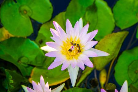 Gruppo di ninfee colorate nel parco dello stagno, fiore di loto