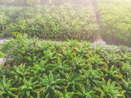 Luftbild-Palmenplantage grüner Waldmorgensonnenaufgang, Lebensmittelölindustrie
