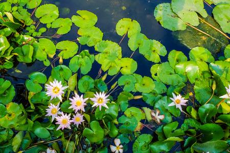 Group of colorful water lily in pond park, Lotus flower Zdjęcie Seryjne