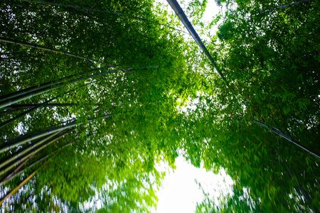 Green bamboo forest with sun light in morning at Arishiyama Japan