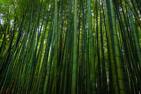 Green bamboo forest with sun light in morning at Arishiyama Japan