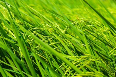 Yellow paddy rice on rice plantation field close up agricultural industry