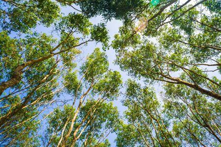 Rubber tree forest green leaf, Rubber plantation Stok Fotoğraf