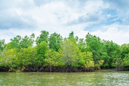 Mangrove tree in tropical rain forest sunny day blue sky environmental concept