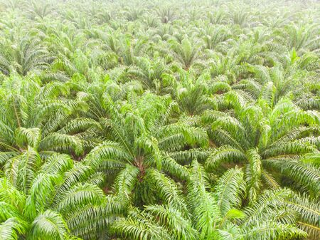 Aerial view palm oil plantation field with morning fog nature industrial