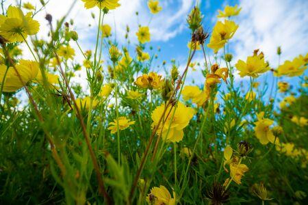 Jardin de fleurs jaune feuille verte contre le ciel bleu avec des nuages le matin Banque d'images