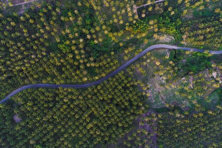 Coconut palm plantation field with rural road aerial view, Agricultural industry