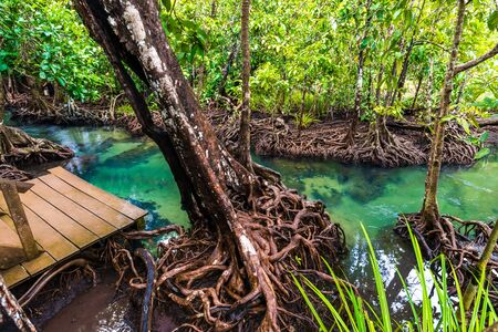 Wooden pathway in mangrove tree forest tropical environmental