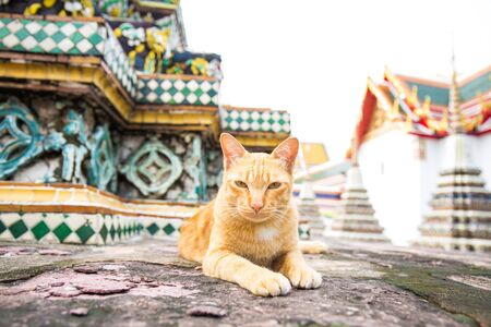 Traditional local asian cat lying in temple of Bangkok Thailand Stock Photo
