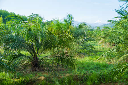 Green tropical oil palm plantation tree agricultural industry