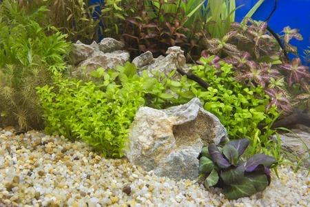 aquarium eau douce: Un beau vert aquarium d'eau douce tropicale plant�e
