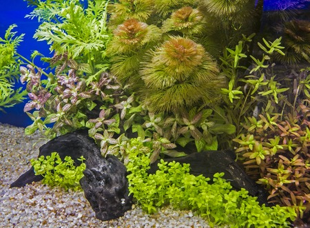 A green beautiful planted tropical freshwater aquarium Standard-Bild