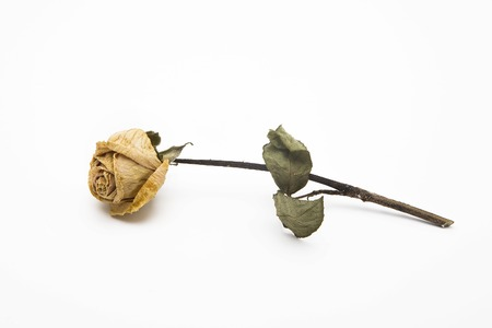 dried rose depicted on a white background. photo