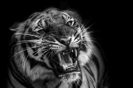 black and white panther: Sumatran Tiger Roaring