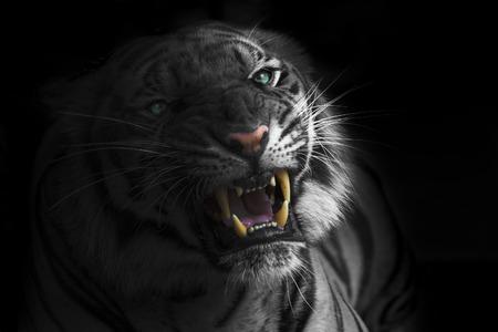 スマトラ虎轟音 写真素材 - 32625141