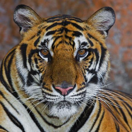 Sumatran Tiger Roaring photo