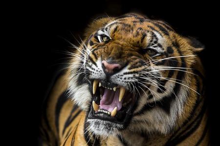 Sumatran Tiger Roaring Reklamní fotografie - 32625151