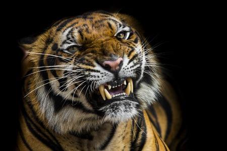 Sumatran Tiger Roaring